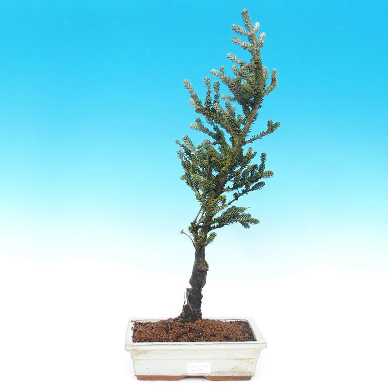 Venkovní bonsai - Jedle korejská