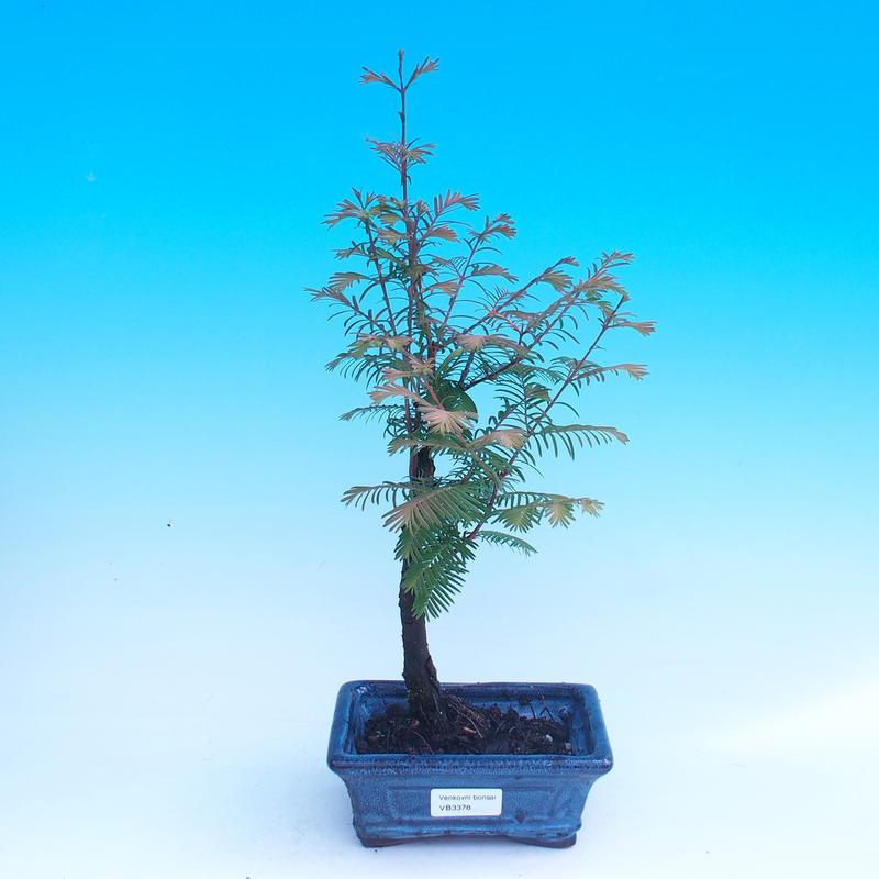 Javor červený - Acer palmatum Trompenburg