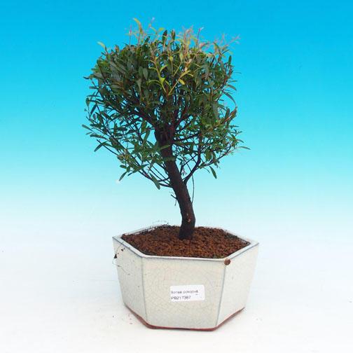 Pokojová bonsai Syzygium -Pimentovník PB217387
