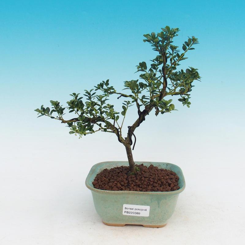 Pokojová bonsai - Cesmína