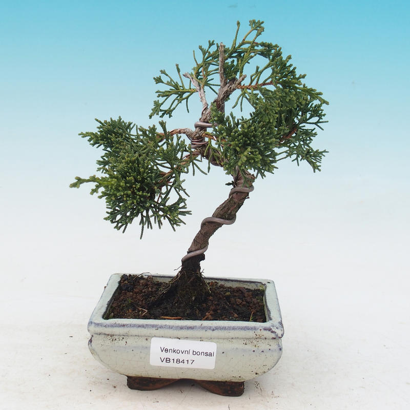 Pokojová bonsai -Hibiscus- malokvětý ibišek