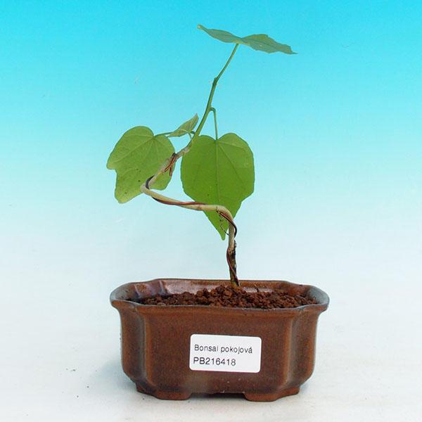 Pokojová bonsai - malokvětý ibišek PB216418