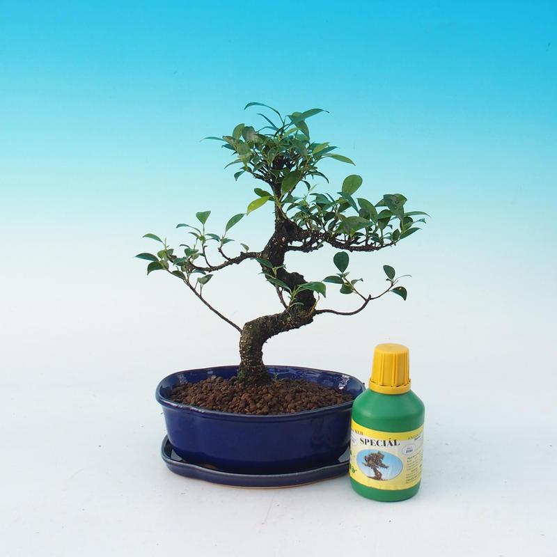 Pokojová bonsai sada Ficus retusa - Fikus malolistý