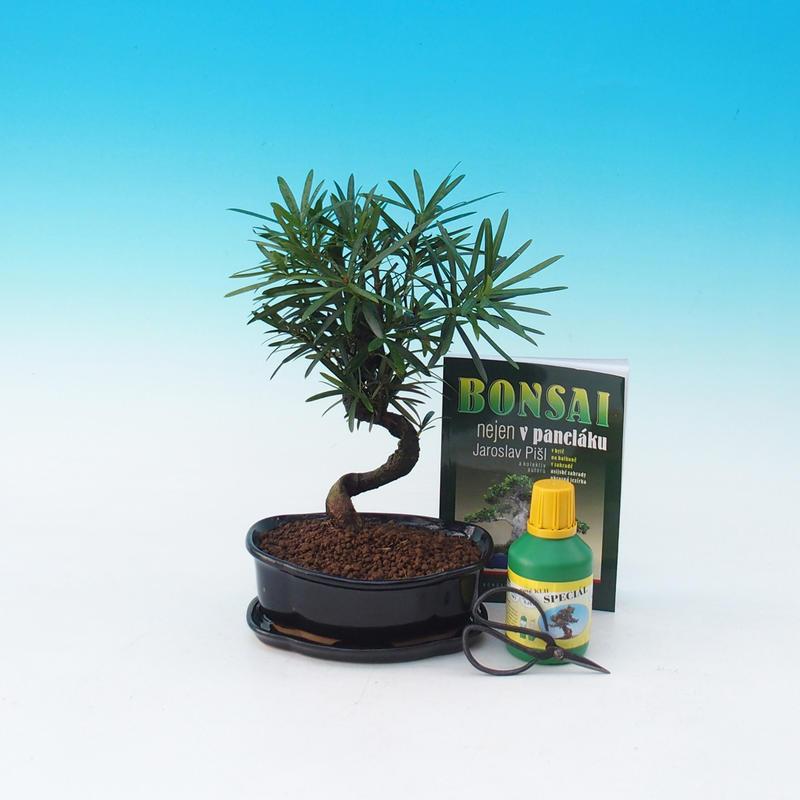Pokojová bonsai sada Podocarpus - Kamenný tis