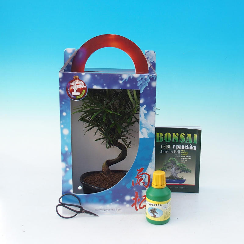 Pokojová bonsai v dárkové krabičce podocarpus - Kamenný tis