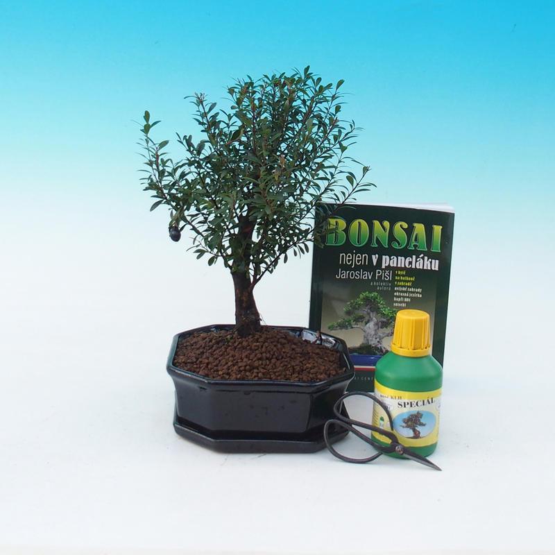 Pokojová bonsai sada Syzygium - Pimentovník