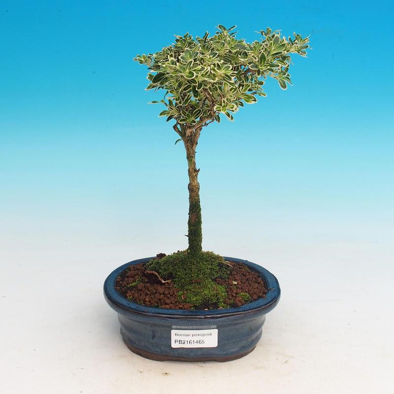e-Bonsai - Pokojová bonsai - Serissa foetida Variegata - Strom ... 379506920b8