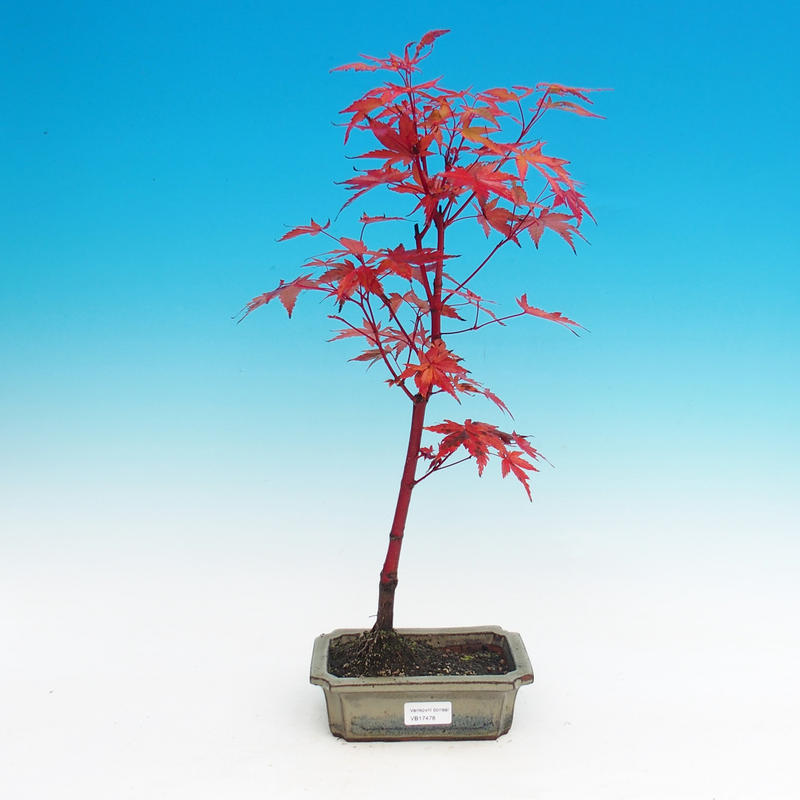 Venkovní bonsai - Javor dlanitolistý