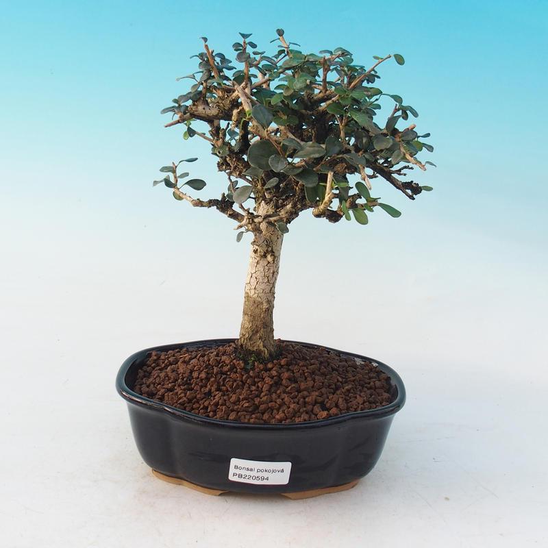 Pokojová bonsai - Blachia chunii - Blahoš