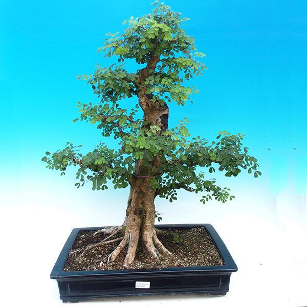 Pokojová bonsai - Kampeškové dřevo -
