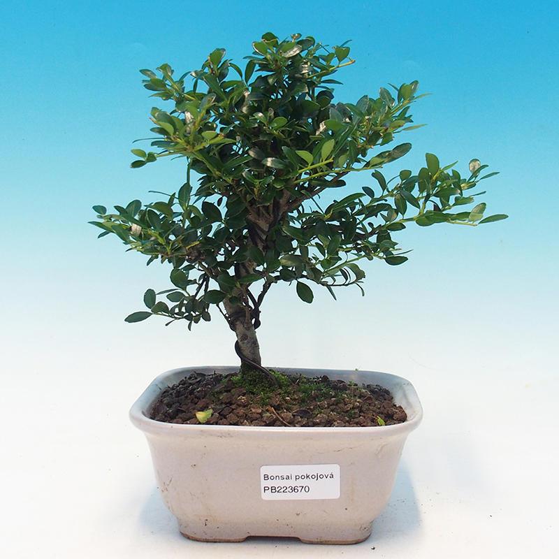 Venkovní bonsai-Fagus sylvatica