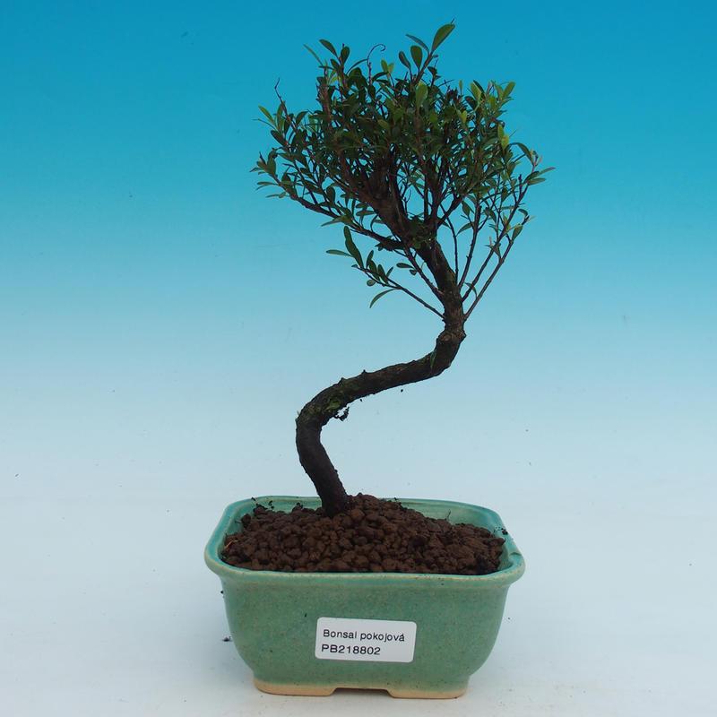 Pokojová bonsai - Syzygium - Pimentovník