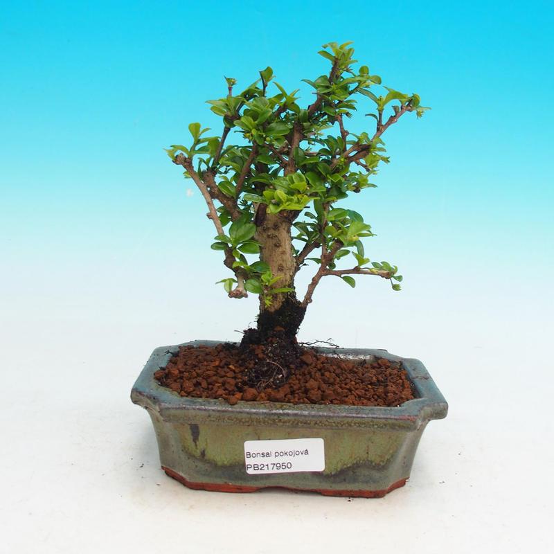 Pokojová bonsai - Carmona macrophylla