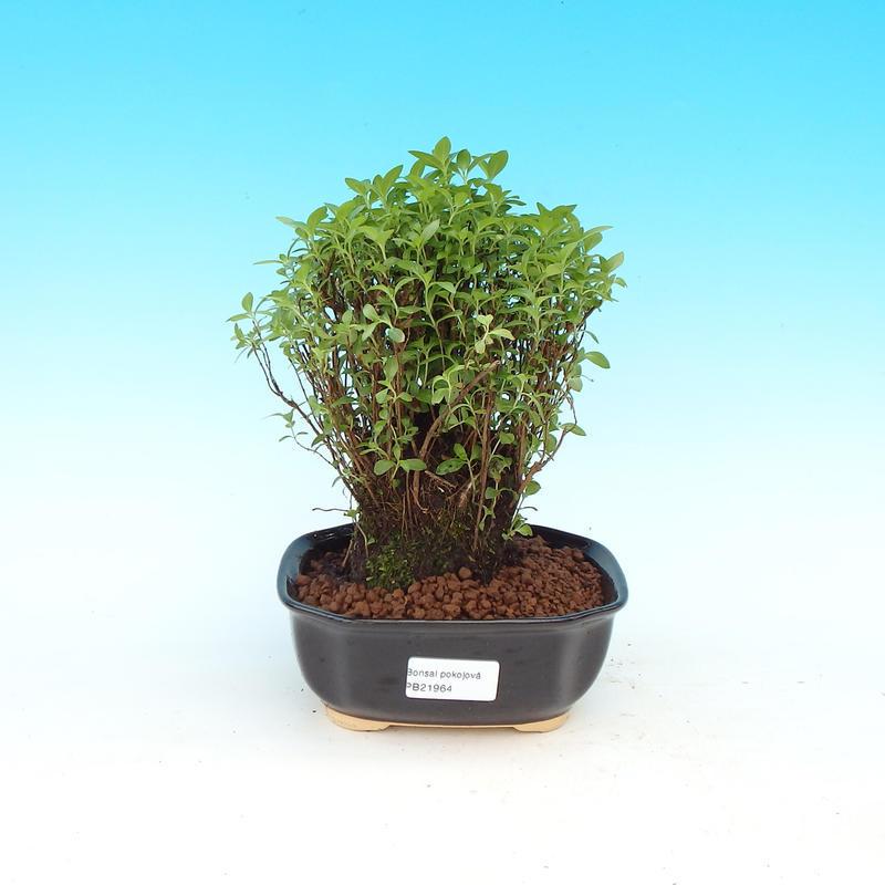 Pokojová bonsai - Serissa specioza - Strom tisíce hvězd