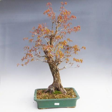 Venkovní bonsai -Javor korkový VB40426