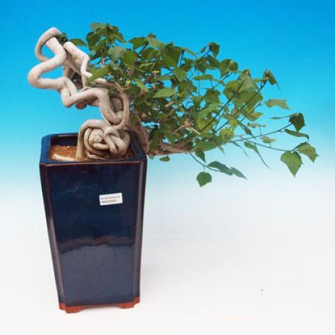 Pokojová bonsai - malokvětý ibišek PB9063