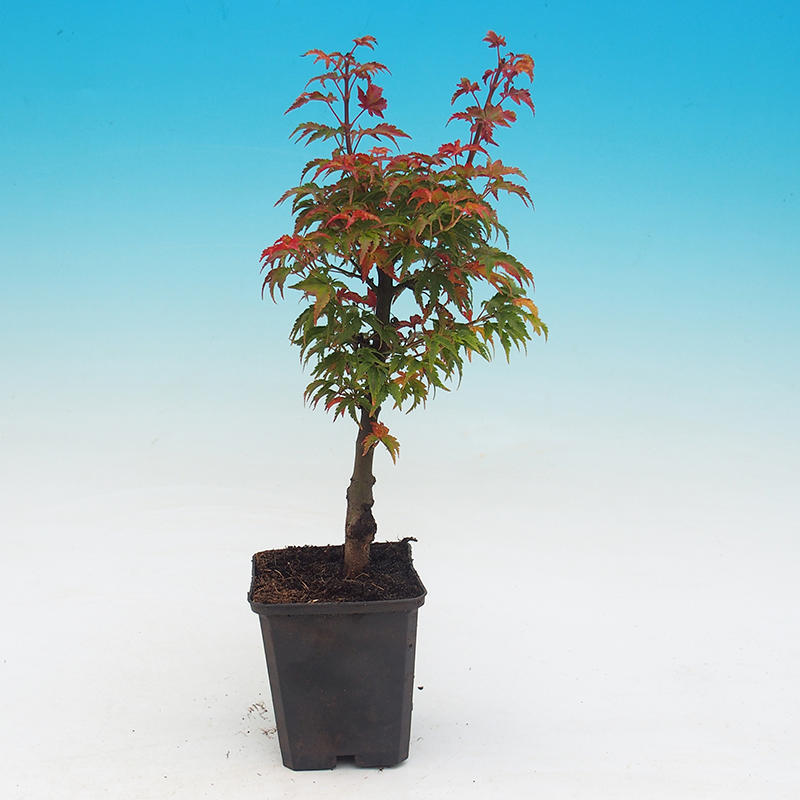 Venkovní bonsai - Javor dlanitolistý acer palmatum Shishigashira